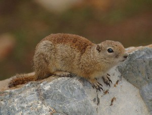 Sage Rat Beldings ground squirrel